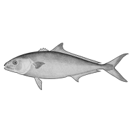 Illustration of a yellowtail