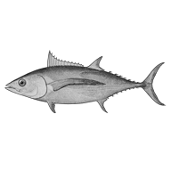 Illustration of a tuna