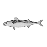 Illustration of a mackerel