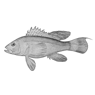 Illustration of a sea bass