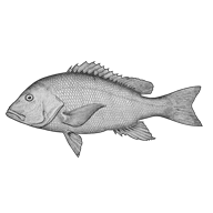 Illustration of a red snapper